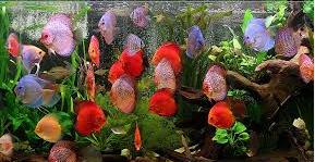 Mengenali Penyakit Discus ikan hias air tawar
