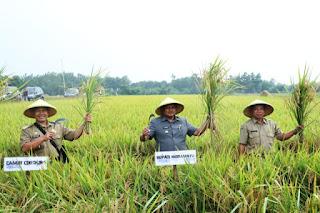 Wakil Bupati Indramayu , Tahan Gabah Jangan Langsung Dijual