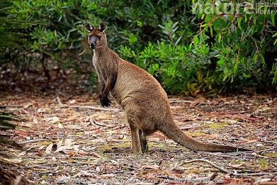Canguro gris occidental (Macropus fuliginosus)