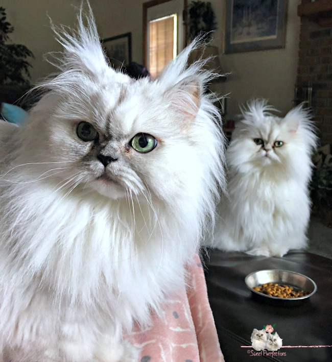 Silver shaded Persian cats, Truffle and Brulee, sitting on footrest looking at Mom Paula