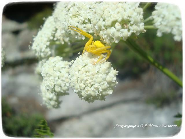 pauk-krab-menjaet-cvet