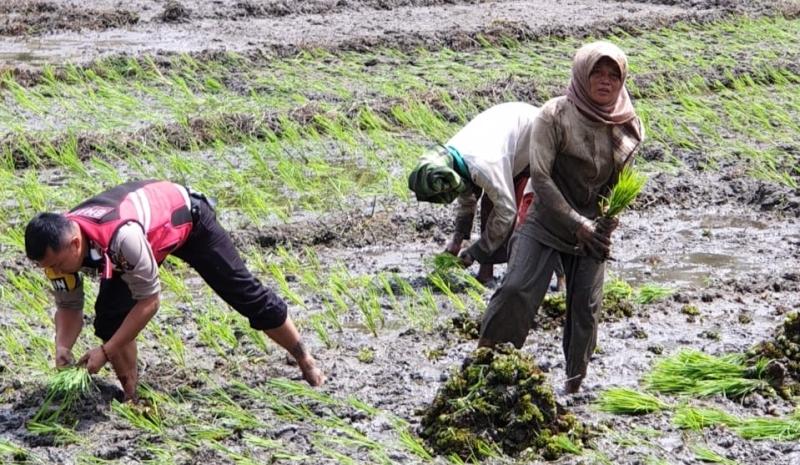 Bripka Didi Hartadi Turun Ke Sawah Bantu Petani Menanam Padi