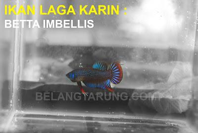 Ikan Laga Betta Imbellis Kampung Liar