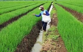 teknis budidaya di luar musim untuk meningkatkan produksi bawang merah