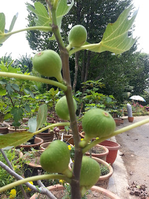buah tin di nurseri pokok tin di putrajaya