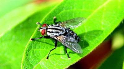 sivrisinekler-nasil-beslenir
