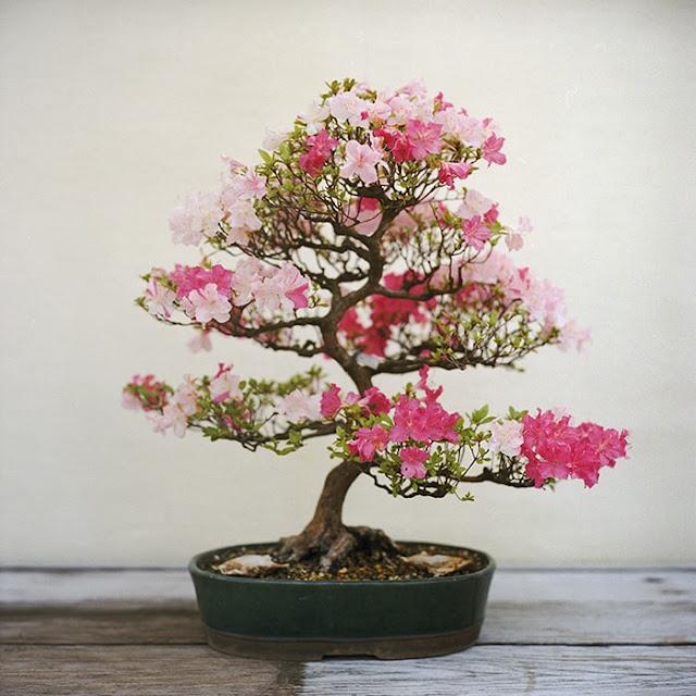 شجرة ازاهار رقيقة