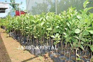 Daftar Harga bibit tumbuhan buah Jambu Kristal Daftar harga bibit tumbuhan buah jambu kristal