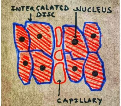 structure of cardiac muscle