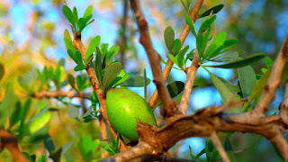 Argan fruit, natural oil, hair loss benefits