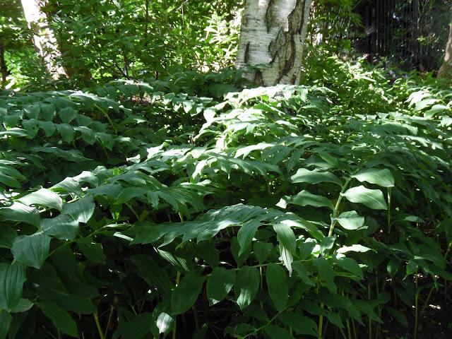 ogród angielski cienisty, kokoryczka