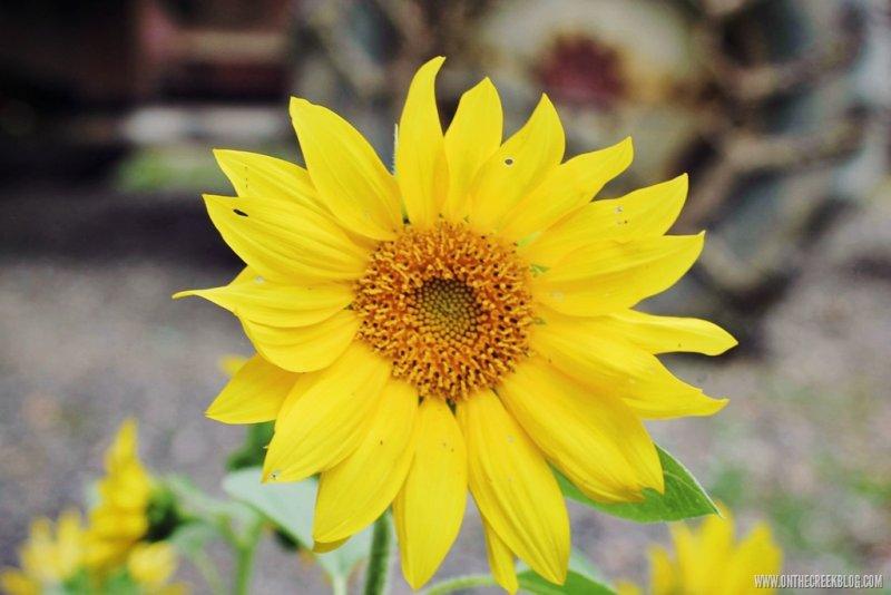 Sunflowers   On The Creek Blog // www.onthecreekblog.com