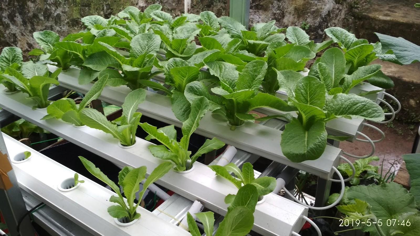 Cara Menanam Sayuran Hidroponik Untuk Pemula Gemilang