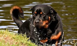 أسعار كلاب روت وايلر