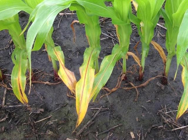 nitrogen deficiency corn