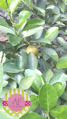 Our calamansi tree