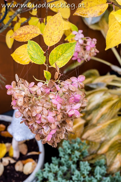 Hortensie Limelight im Herbstkleid