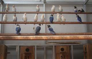 Ternak-Lovebird-Sistem-Koloni