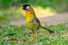 Foto Burung Pancawarna Jantan