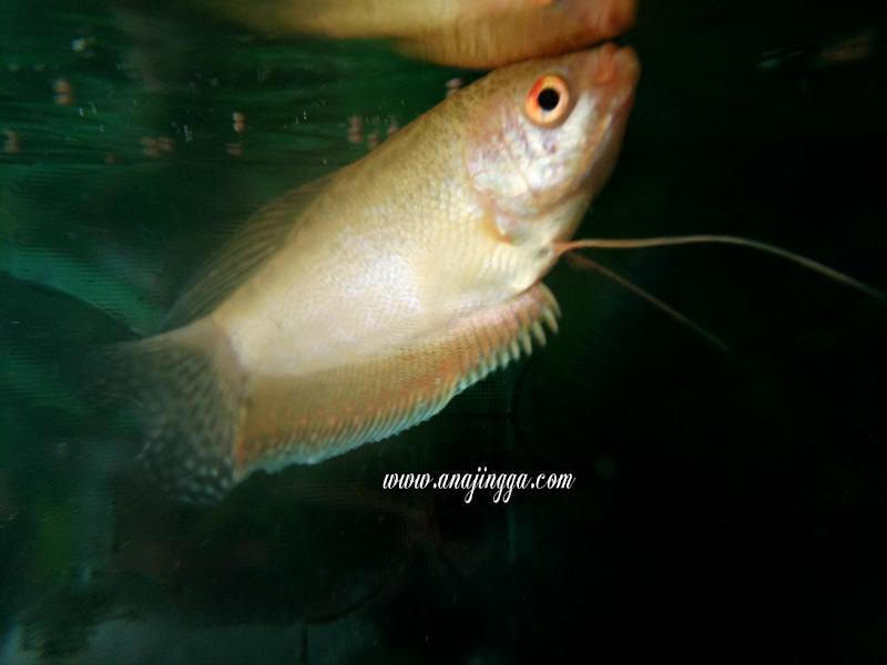 Kisah Ikan Puyu Dan Ikan Emas