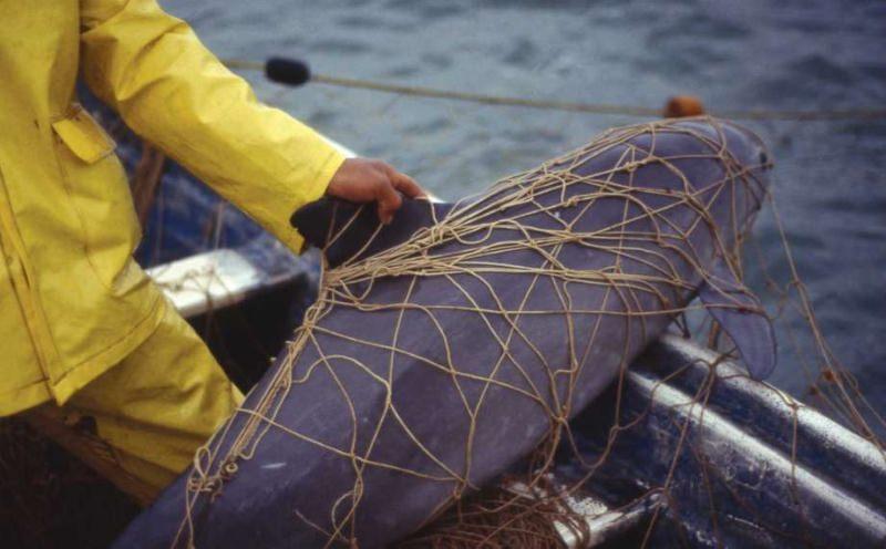 Vaquita capturada em rede de pesca