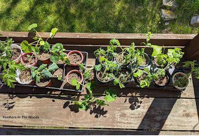 Seedlings and transplants sitting on a sunny porch.