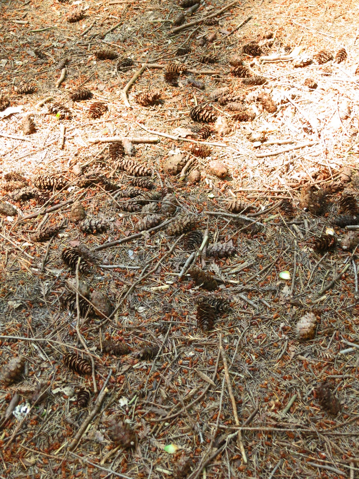 Ground scattered with cones and twigs in mixed light and shade.