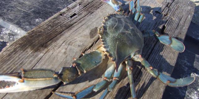 Θεσπρωτία: Παράνομο ψάρεμα μπλε καβουριών με 52 ιχθυοπαγίδες στη Σαγιάδα Θεσπρωτίας!