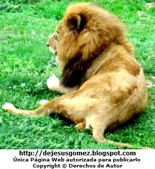 Foto de un león descansando pero alerta en el Parque de las Leyendas. Foto de león de Jesus Gómez