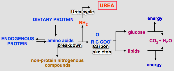 PROTEIN AND AMINO ACID METABOLISM EBOOK