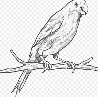 sketsa burung nuri