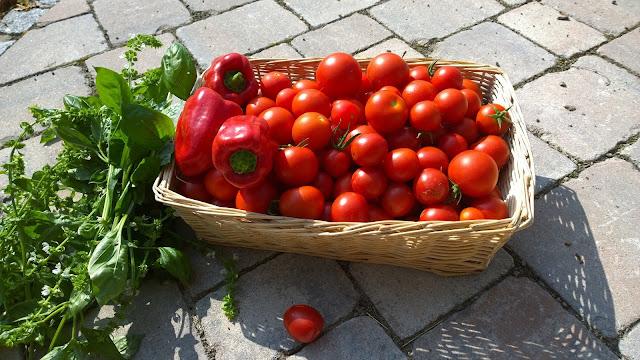 Einmal wieder Tomaten und Basilikum geeernt(c) by Joachim Wenk