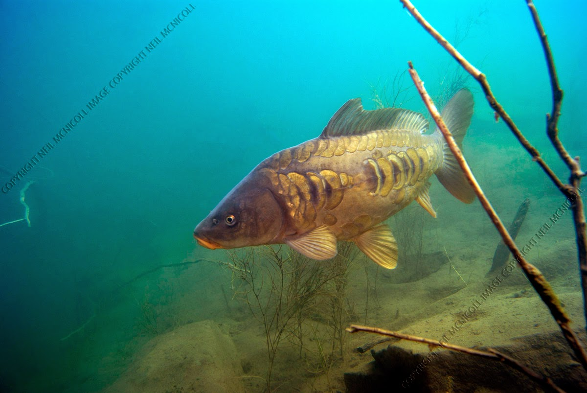 Freshwater fish photographs carp for Carp fish pictures
