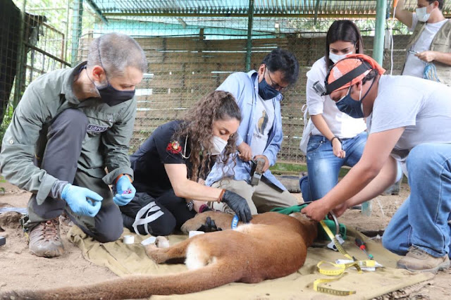 La Puma Luli fue liberada en su nuevo hábitat con el apoyo del Hospital de Fauna Silvestre TUERI-USFQ