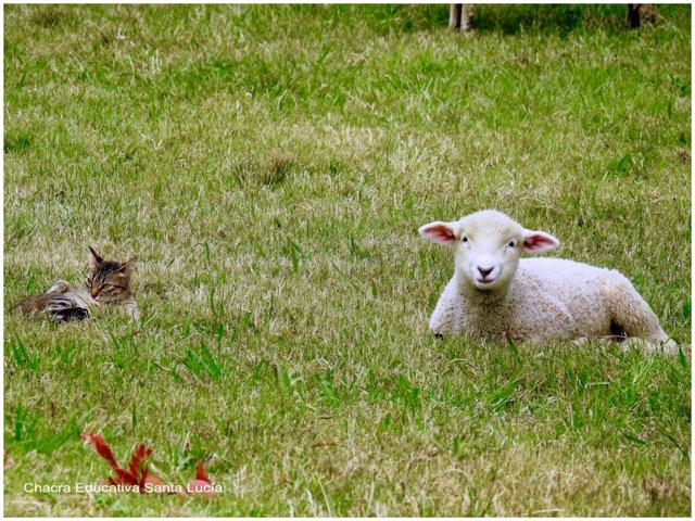 El cordero y la gata reposan en la pradera - Chacra Educativa Santa Lucía