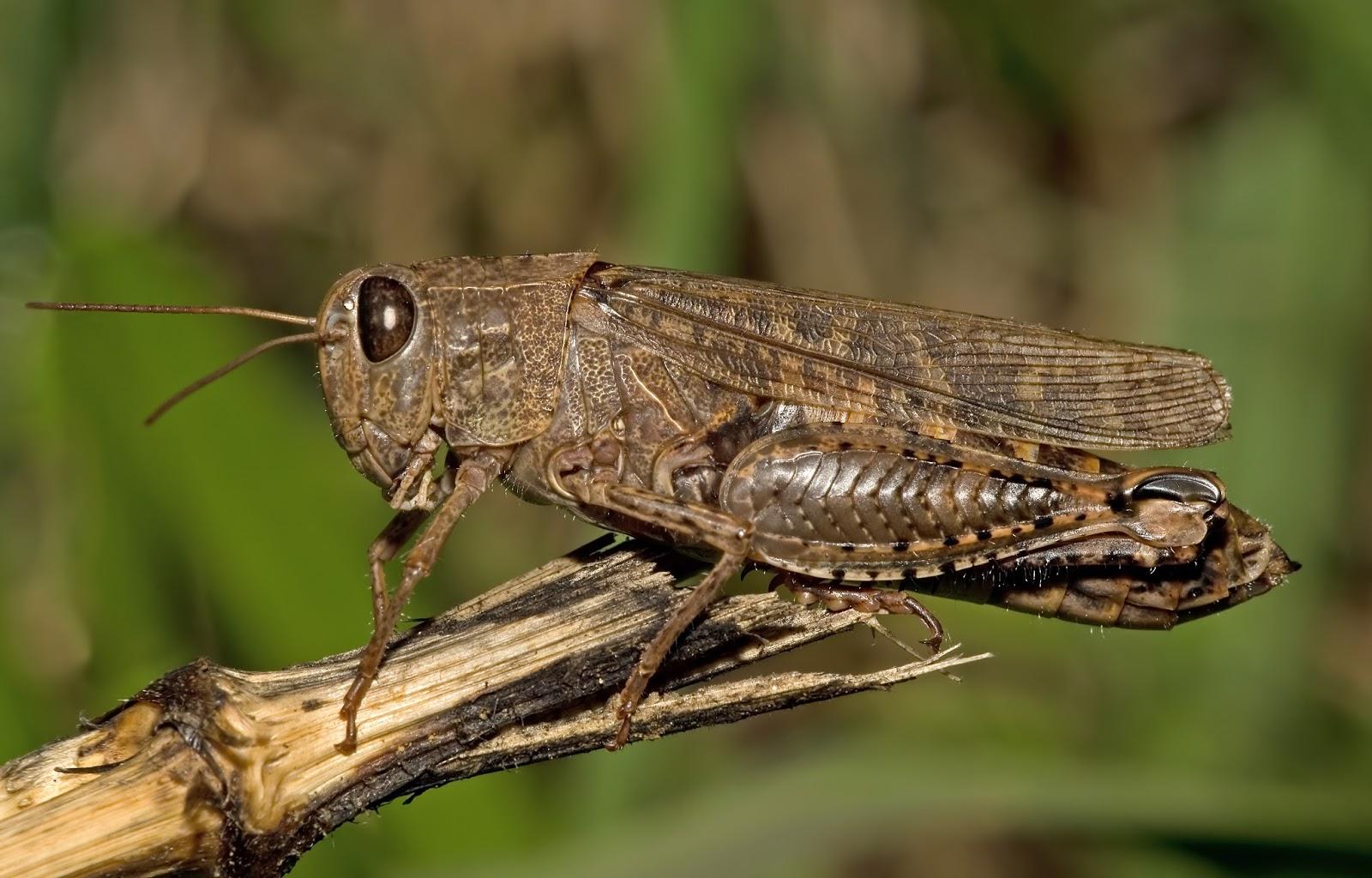 Insects: Calliptamus italicus03