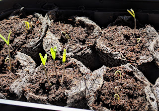 6 small bunches of peet in mess nets--each has one or more seedlings sprouting from them.