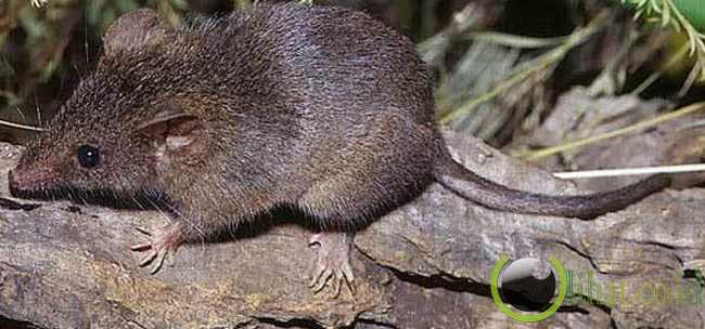 Tikus Antechinus