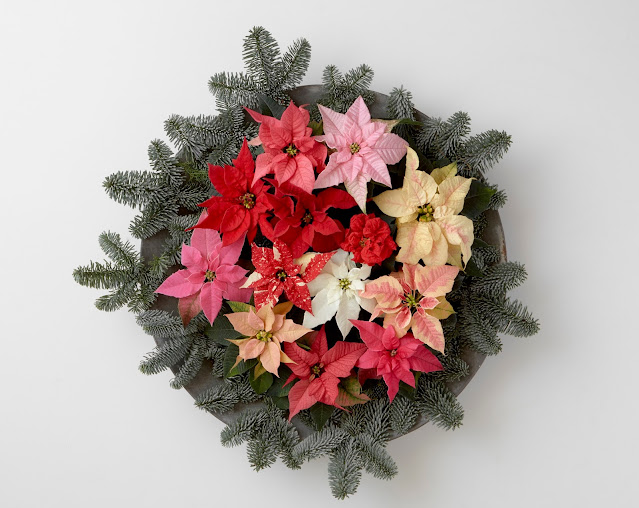 An array of poinsettia colours in a display wreath - Photo credit: Stars for Europe