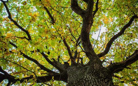 Healthy tree free from Bretziella fagacearum oak wilt disease