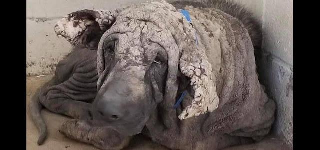 Похожий на камень пес уже через пять месяцев стал невероятным красавцем благодаря волонтёрам