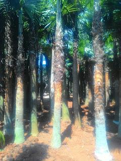 Kami tukang Taman minimalis menjual pohon palm sadeng minyak dengan berbagai ukuran mulai dari tinggi satu meter hingga lima meter, harga yanh kami tawarkan paling murah bebas ongkos kirim