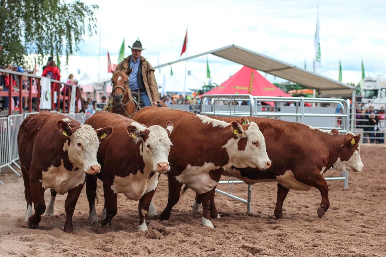 Kenneth Puskala esiintyy karjanäytöksessa Okra 2019 maatalousnäyttelyissä