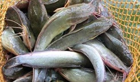 Cara Cepat Mancing Ikan Lele Yang Susah Makan Dan Umpannya Membuat Umpan Ikan