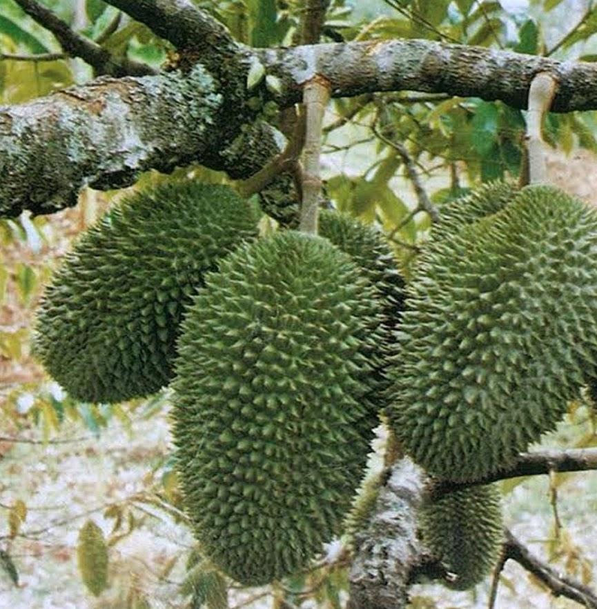 Tanaman Buah Durian Petruk Jawa Timur