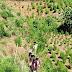 গাজা বিরোধী অভিযানে ১লক্ষ ৫ হাজার গাজা গাছ ধ্বংস করে সাফল্য কলমচৌড়া থানার পুলিশ  - Sabuj Tripura News