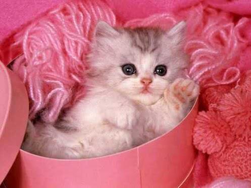 gatito caja regalo rosa