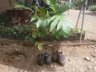 buah sukun unggul bibit sukun unggul jual bibit sukun bibit sukun unggul penjual bibit sukun tanaman sukun unggul pohon sukun unggul