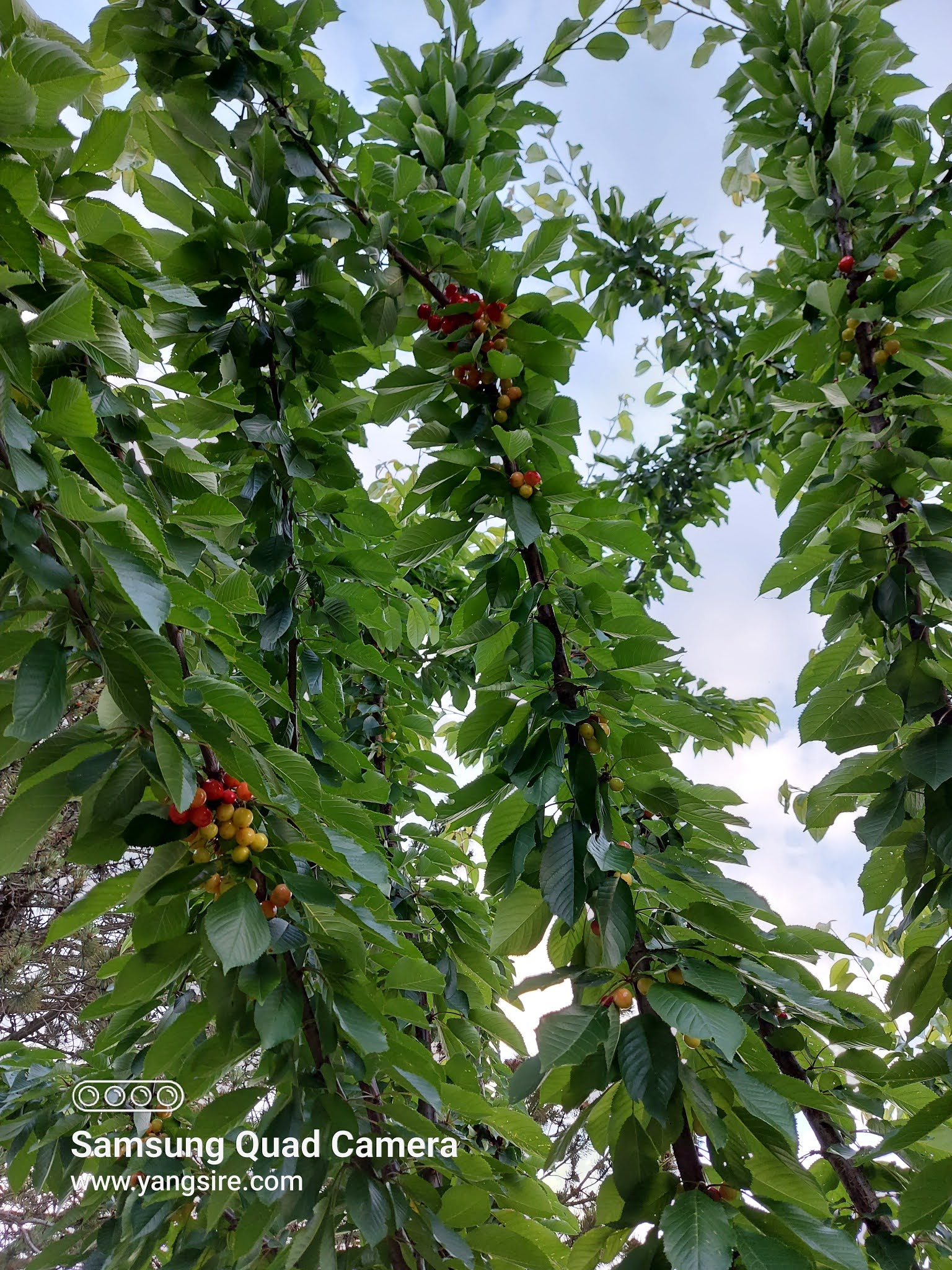 Can you grow cherry on your front yard? Yes, definitely!