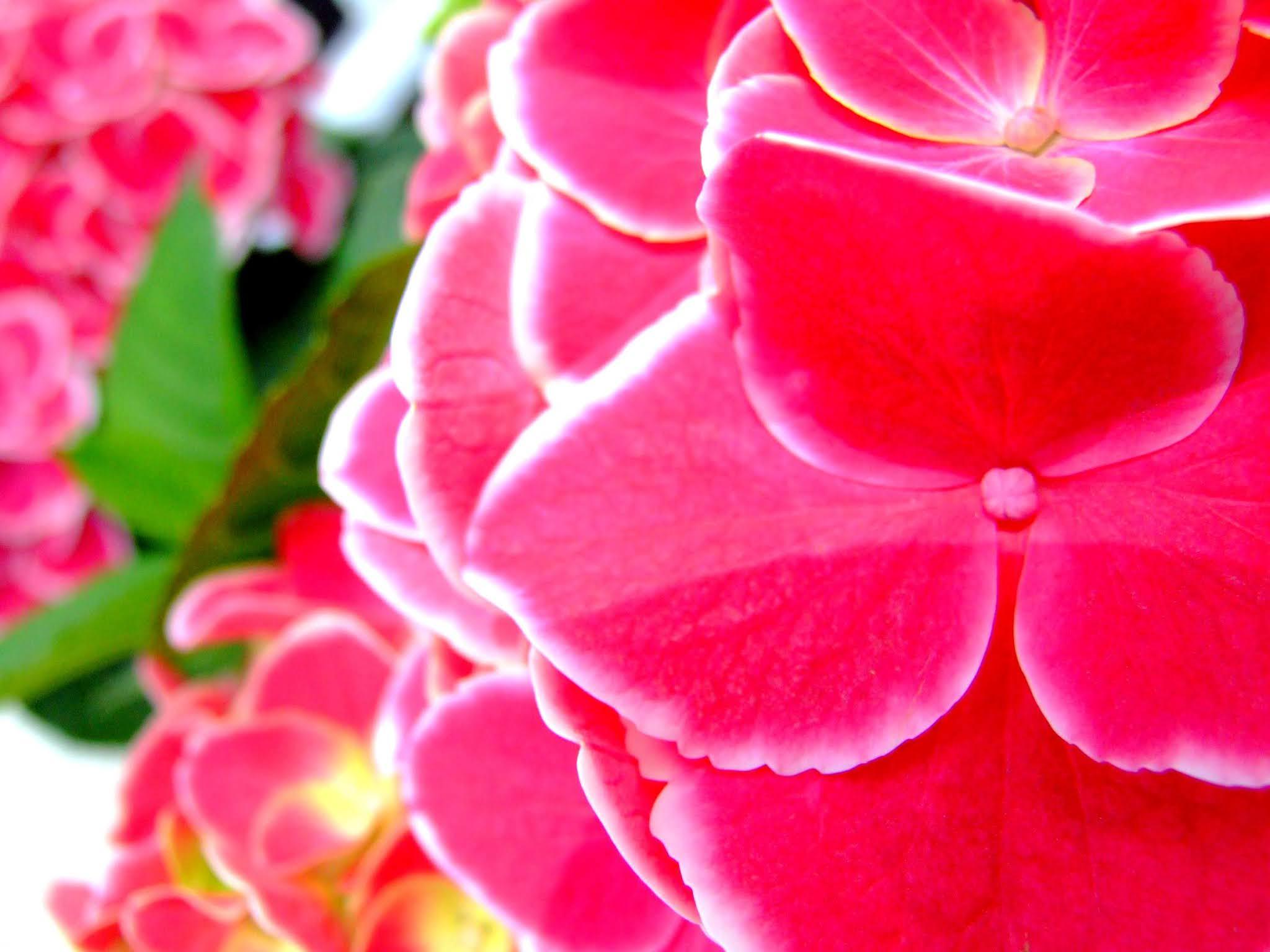 マゼンダ系の濃いピンクが鮮やかなアジサイのドアップの写真素材です。白い縁取りが印象的です。梅雨の時期のブログ記事などにどうぞ。